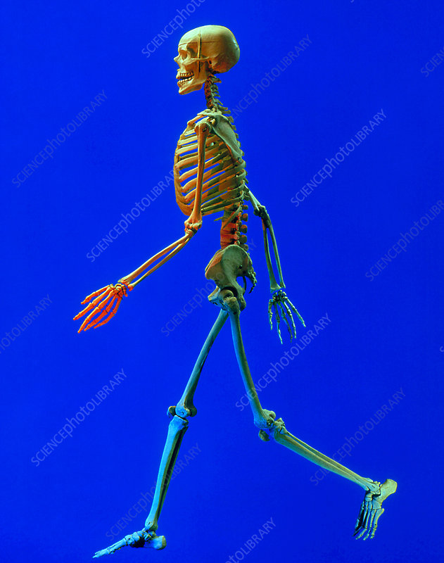 Photo of human skeleton seen from the side