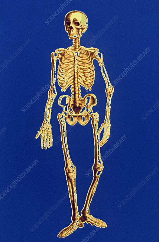 Digitised illustration of a normal human skeleton