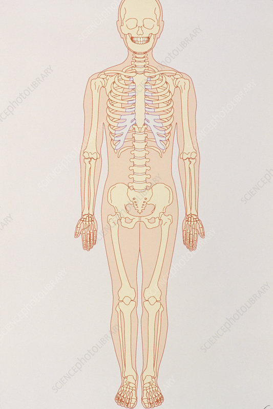 Artwork of a normal human skeleton