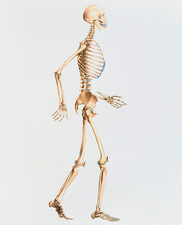 Artwork of the human skeleton in side view