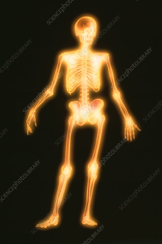Computer artwork of a healthy human skeleton