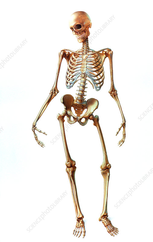Artwork of human skeleton