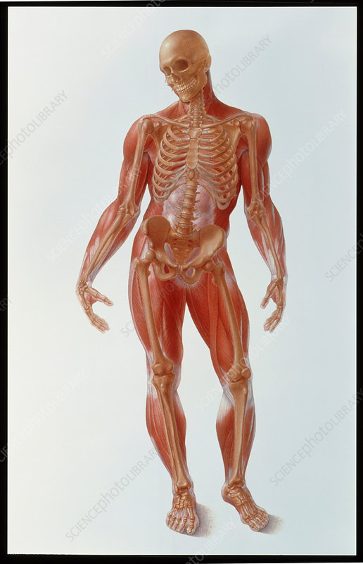 Artwork of a male human skeleton showing muscles