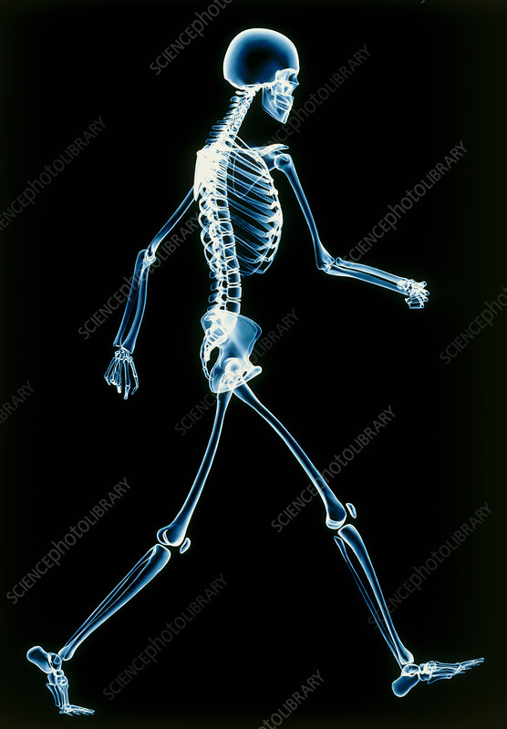 Human skeleton walking