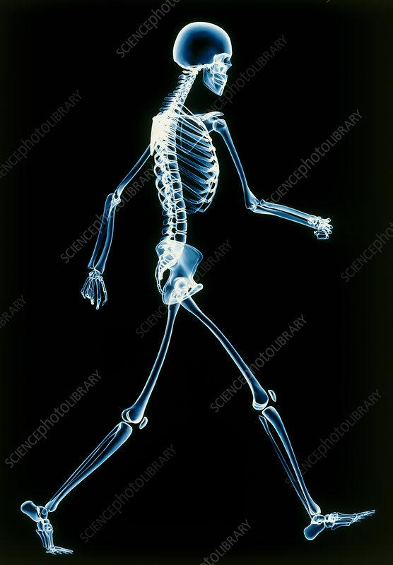 human skeleton walking - stock image p100/0087 - science photo library, Skeleton