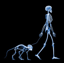 Skeleton walking a marmoset, X-ray