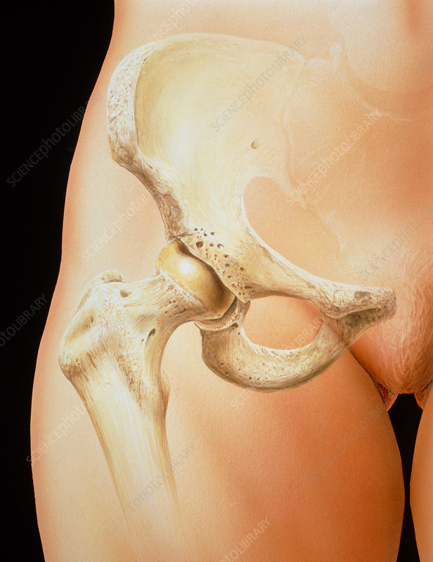 Artwork of bones in the human female pelvis