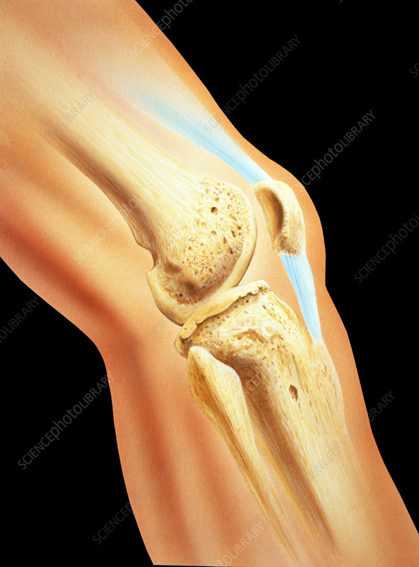 Artwork of bones & ligament in human knee joint