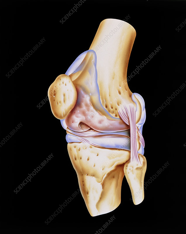 Artwork of bones & ligaments in human knee joint