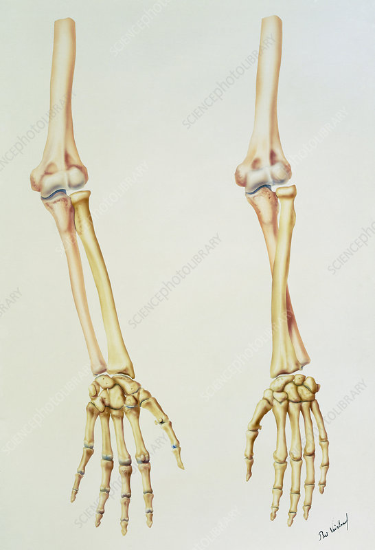 Bones of the arm in pronation and supination