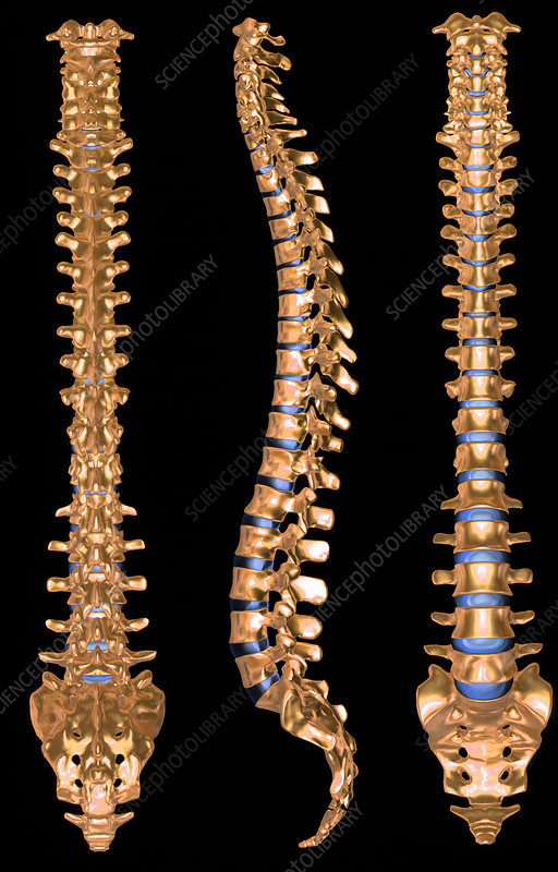 Computer artwork of three views of a human spine