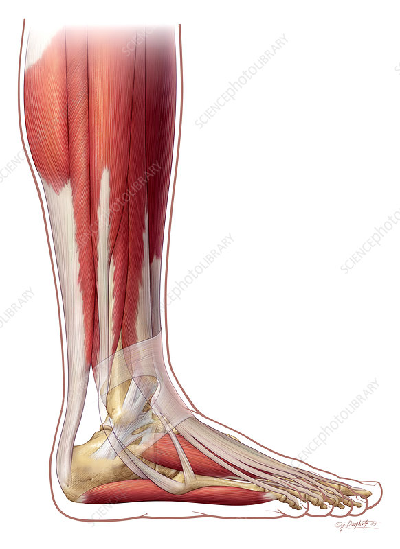 Foot and Ankle Anatomy, Lateral