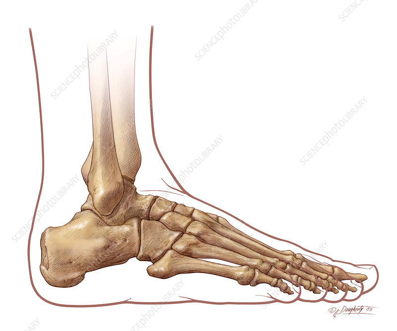 Foot And Ankle Skeletal Anatomy Lateral Stock Image P1160608