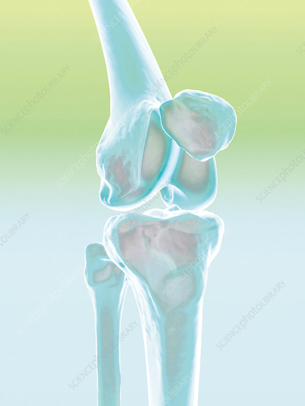 Knee joint, computer artwork
