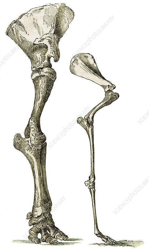 Elephant and camel leg bones, artwork - Stock Image P117/0004 ...
