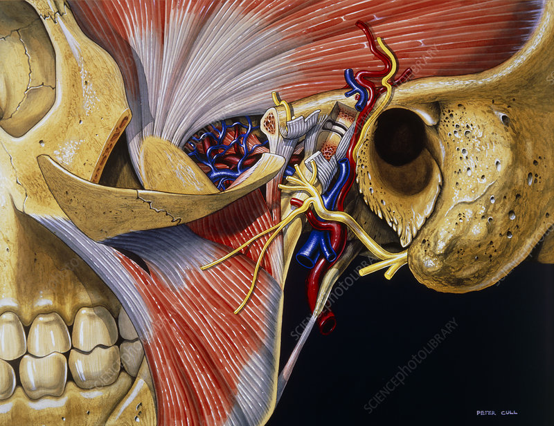 Artwork: Dissection of Temporomandibular Joint