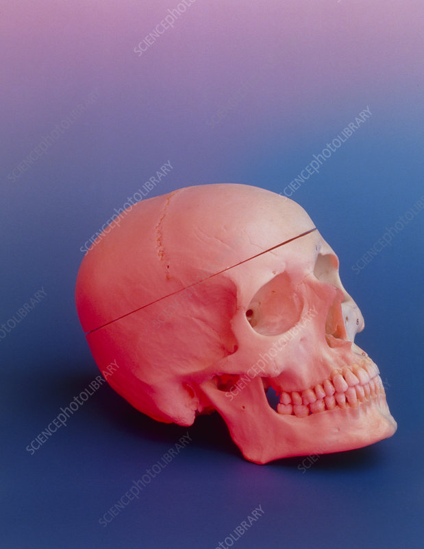 Human skull lit with a rosy pink light