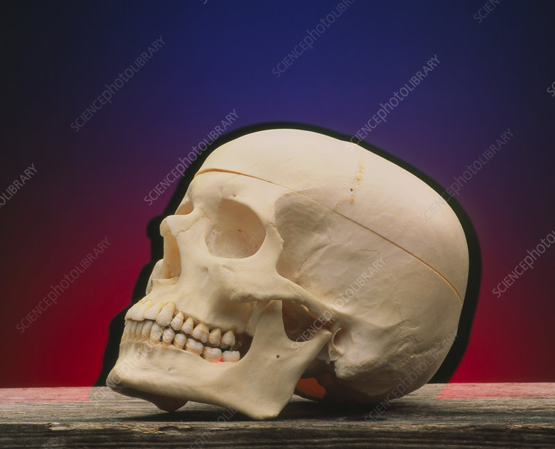 Side view of female skull on a wooden surface