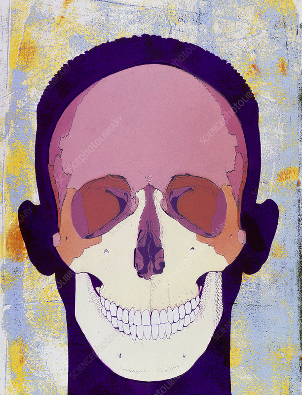 Artwork of a human skull in front view