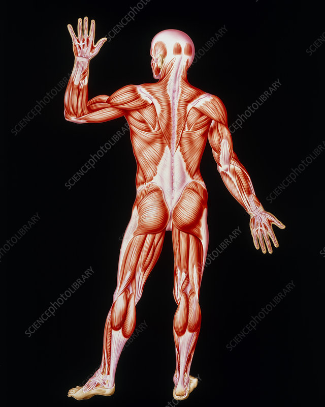 Human skeletal muscles, artwork