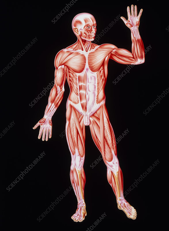 Artwork showing human skeletal muscles, front view