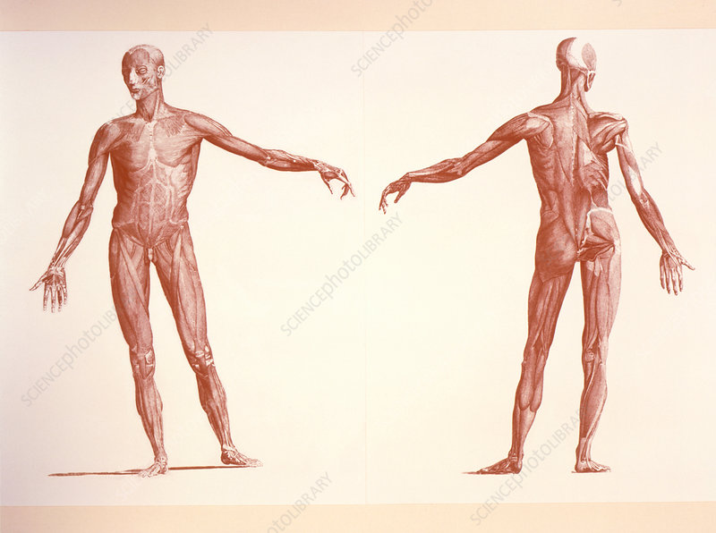 Engraving of human skeletal muscles, front/back