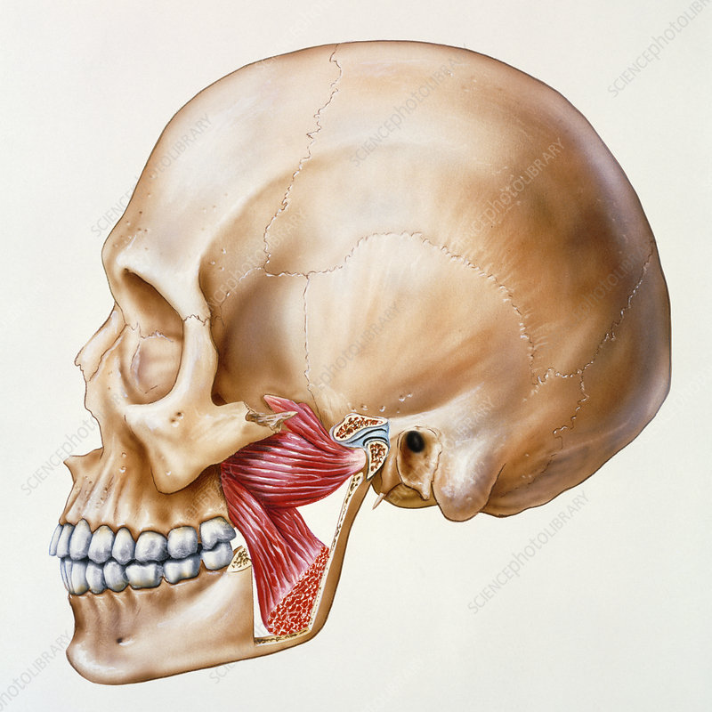 Artwork Of The Skull Showing Muscles Of The Jaw Stock Image P150