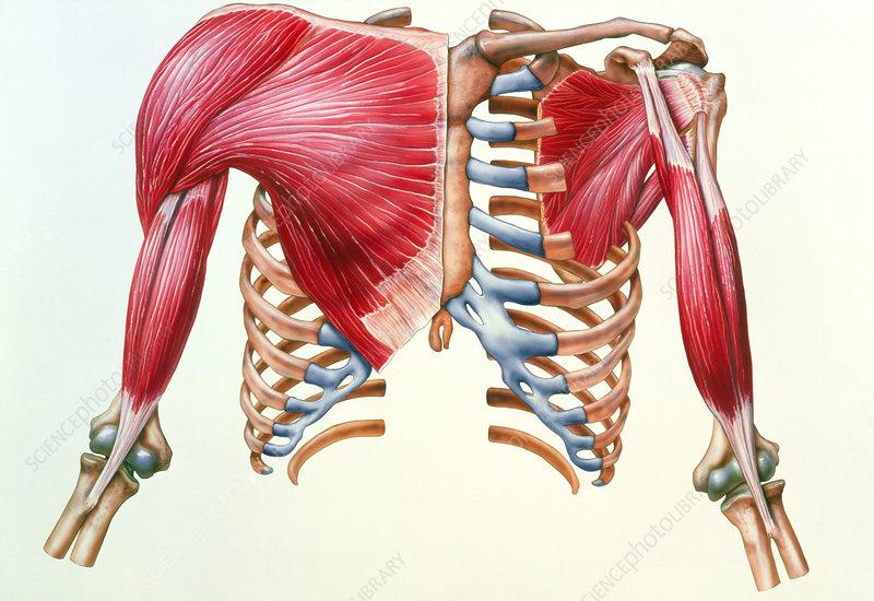 Artwork of skeleton & muscles of chest & upper arm - Stock Image ...