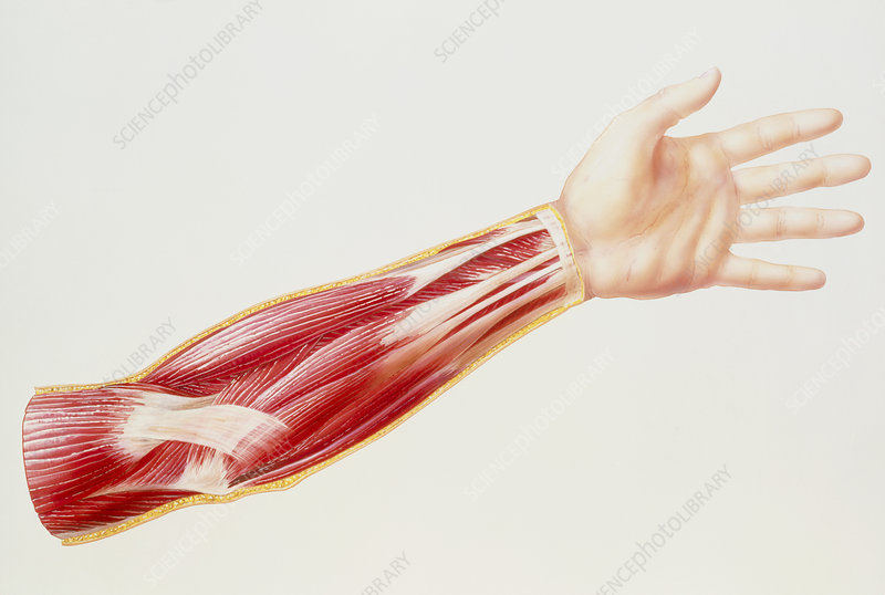 Artwork of superficial flexor muscles of forearm - Stock