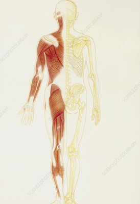 Illustration of human muscle and skeletal systems