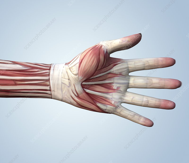 Muscular system of a hand