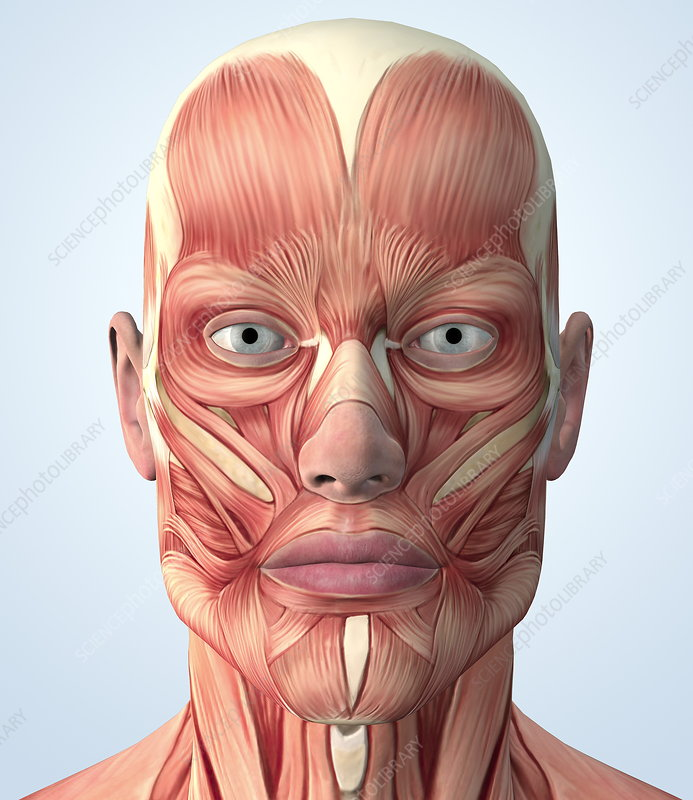 Muscular system of the head - Stock Image P150/0126 - Science Photo ...
