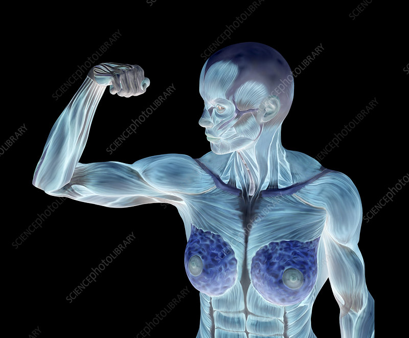 Female musculature