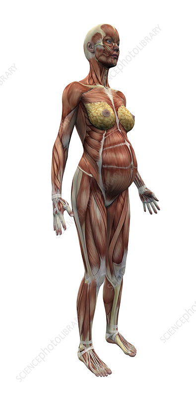 Musculature of a pregnant woman
