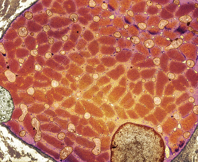 Skeletal Muscle Cell Tem Stock Image P1540298 Science Photo