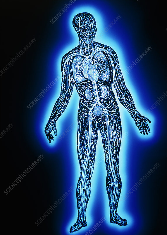 False-colour artwork of human blood circulation
