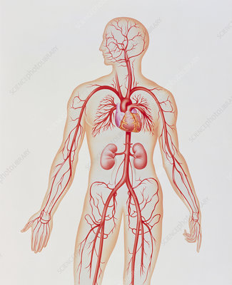 Artwork of human arterial system