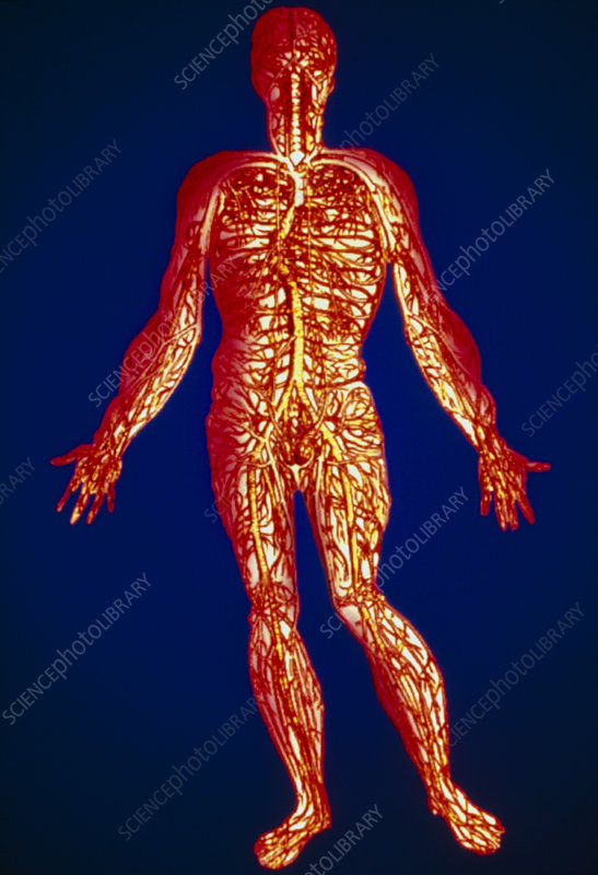 Artwork of human blood circulation