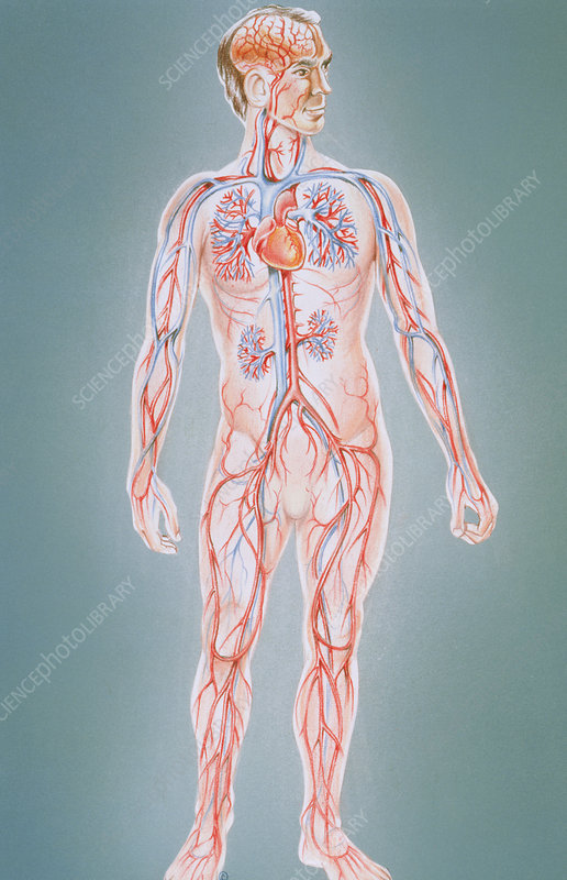 Artwork of human blood circulation in male figure