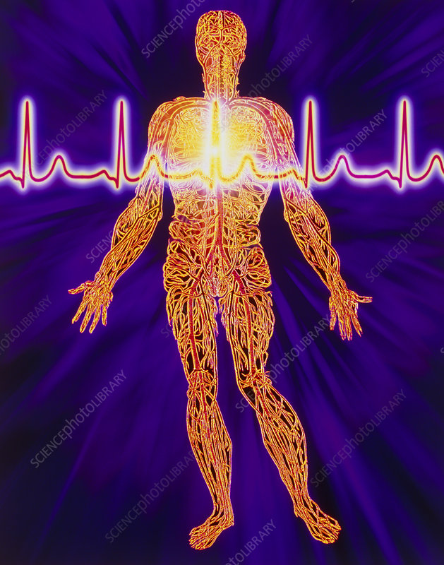 Artwork Of Human Venous System And Ecg Heart Trace Stock Image