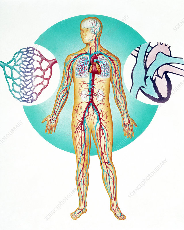 Illustration of the human blood circulation system