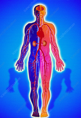 Artwork of body showing blood vessels and organs