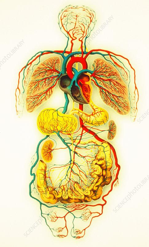 human circulatory system heart. Circulatory system