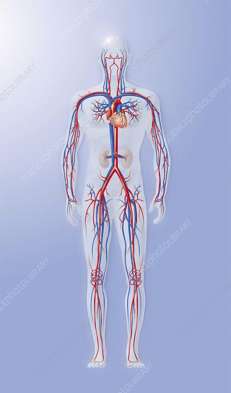 dogfish shark circulatory system. human circulatory system