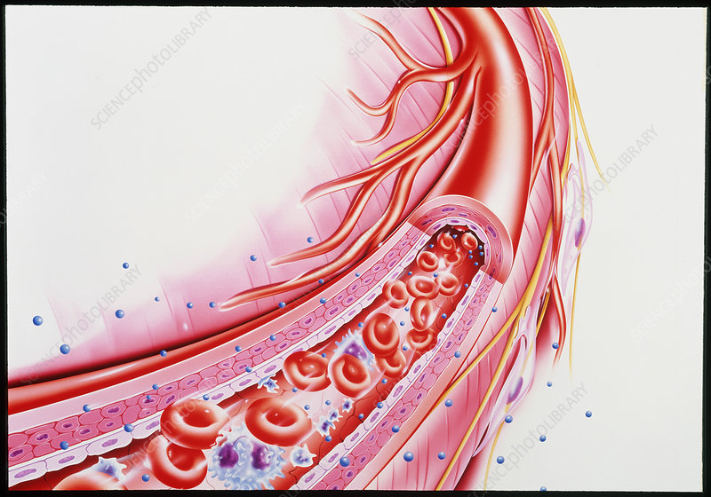 Artwork showing a cut-away of a human arteriole - Stock Image P206 ...