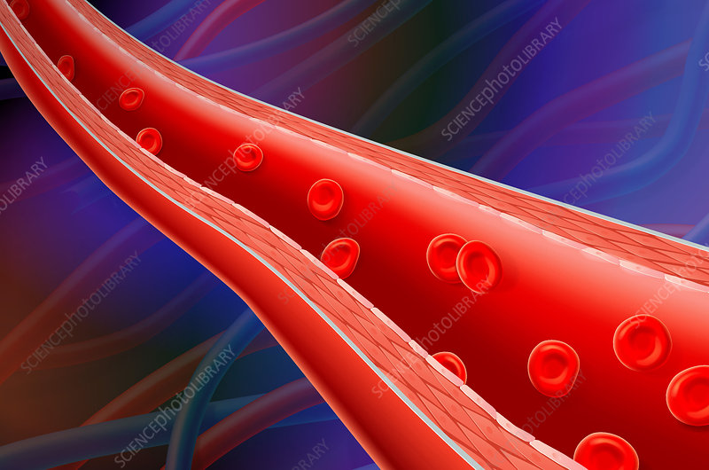Artery and red blood cells
