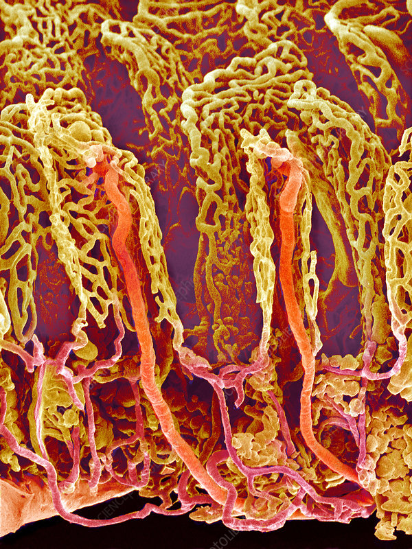 Small intestine blood vessels, SEM