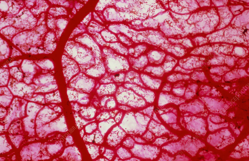 Blood vessels, macrophotograph