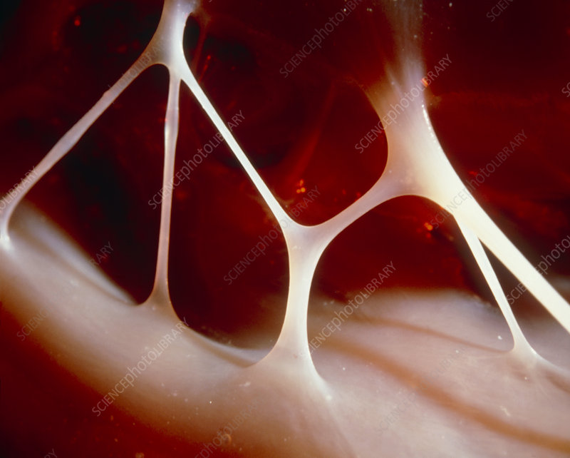 Macro photo of the Chordae tendineae in h