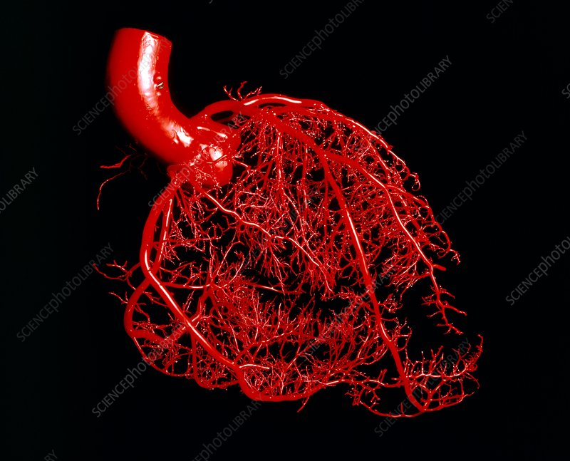 Resin cast of the coronary arteries of the heart